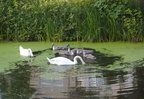 Ropsley Crescent Swans
